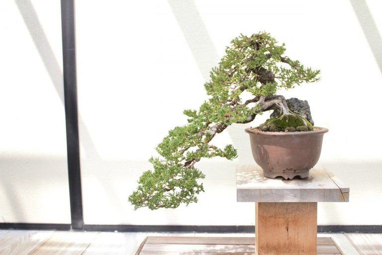 bonsai, tree, leaves